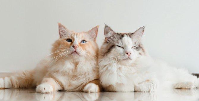 『物静かな猫』の品種5つ