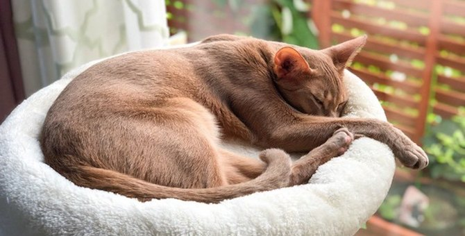 【スラリとモデル体型♡】スタイルの良い猫種4選