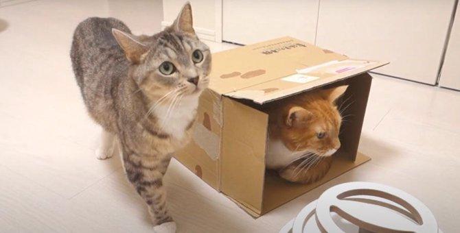 絶対諦めない!ダンボールに入りたい猫ちゃん