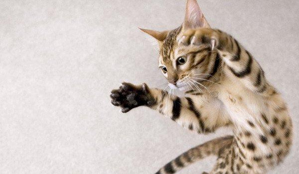 猫のジャンプ力は人間の5倍!?どうしてそんなに飛べるの?