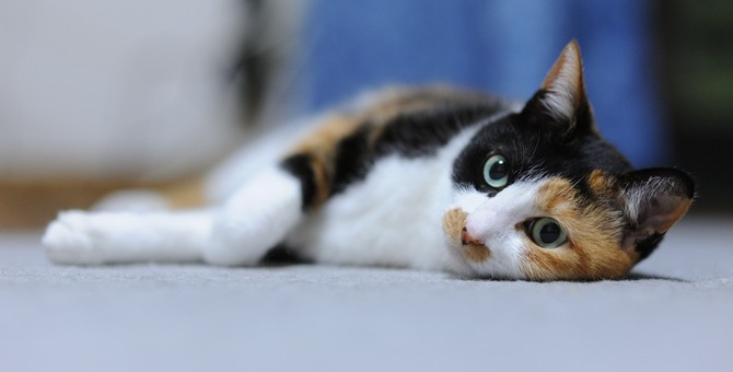 オスの三毛猫は世界に数匹しかいない幸せを呼ぶにゃんこ