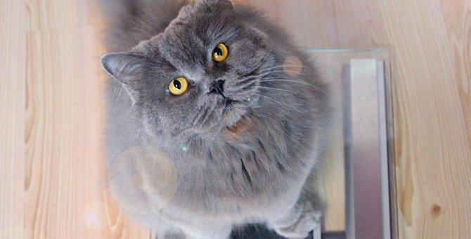 猫の『ダイエット』はいつすべき?肥満の見極め方と安全な方法を解説