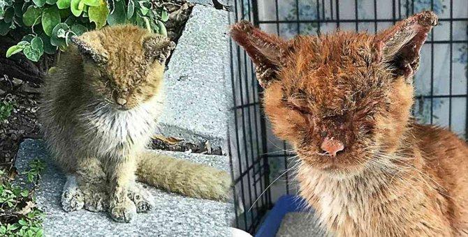 ひどい疥癬にかかった猫…手厚い治療で驚きの美姿へ!