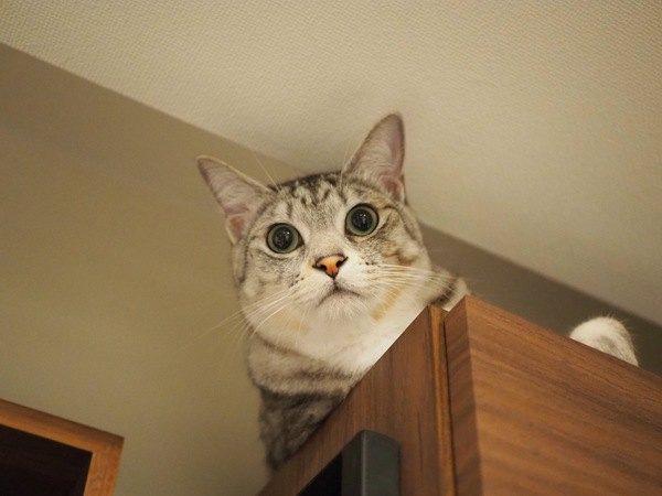 猫が高いところから飼い主を見下ろしている時の心理3つ
