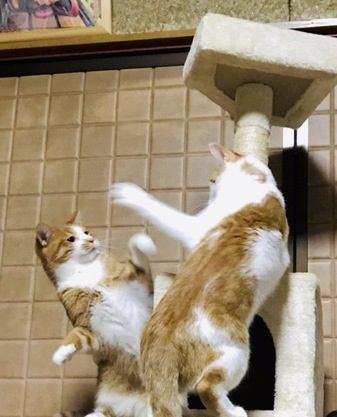 強力な猫パンチを打つ品種