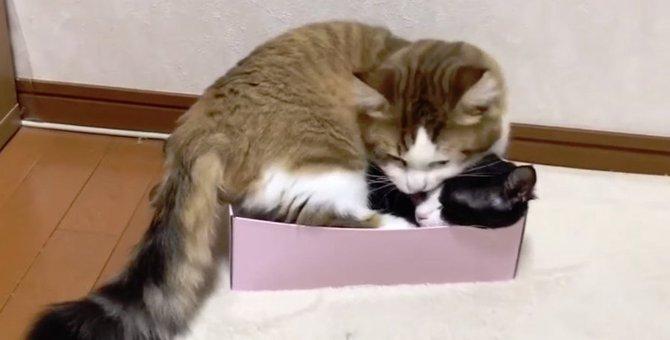 ひとつの箱を巡って争う猫親子