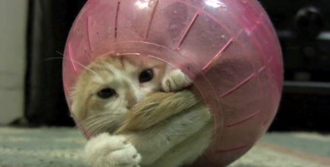 狭いところ大好き!ハムスター用のボールがお気に入りの猫