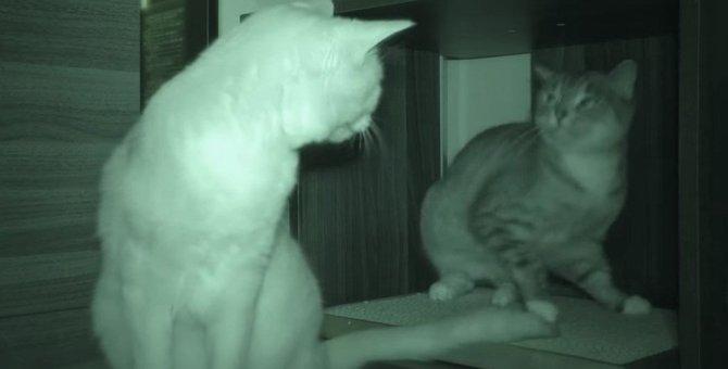 ついにはお味見まで!お姉ちゃんのしっぽが気になる妹猫♡