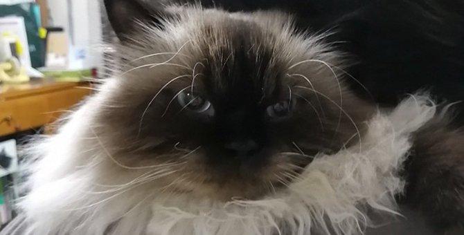 顔をうずめたい…♡モフモフな猫種4選