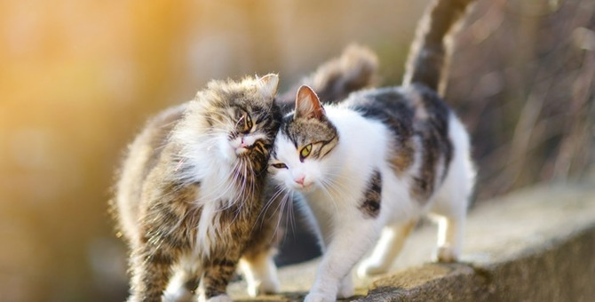 猫のさかりはどんなの!?その行動の特徴と止める方法