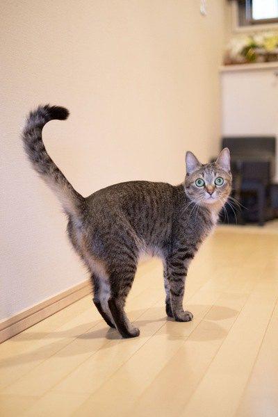 猫がしっぽをまっすぐ立てているときの心理4選