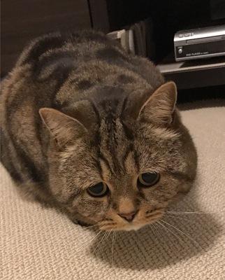 困り顔の猫4選!その人気の理由と可愛い画像まとめ