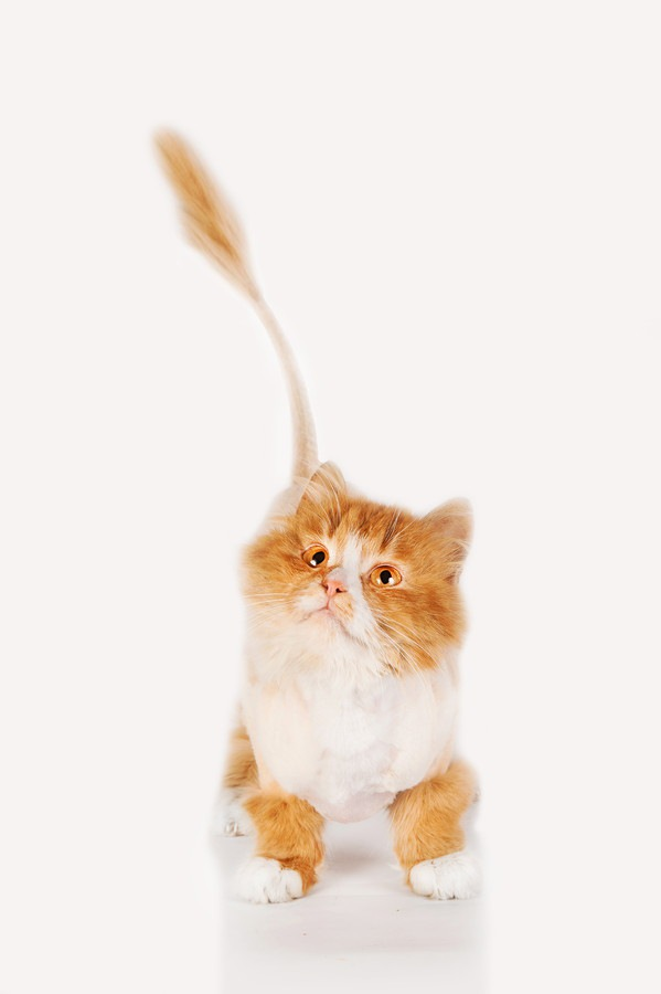 猫をライオンカットするとどうなるの?可愛い写真12発!