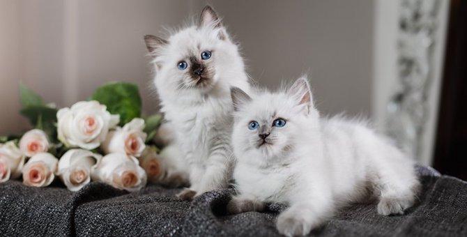 ラグドールのブログ20選!人気の猫ちゃんたちを紹介
