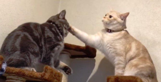 猫同士のじゃれあいのハズが…最後はまさかの展開に!