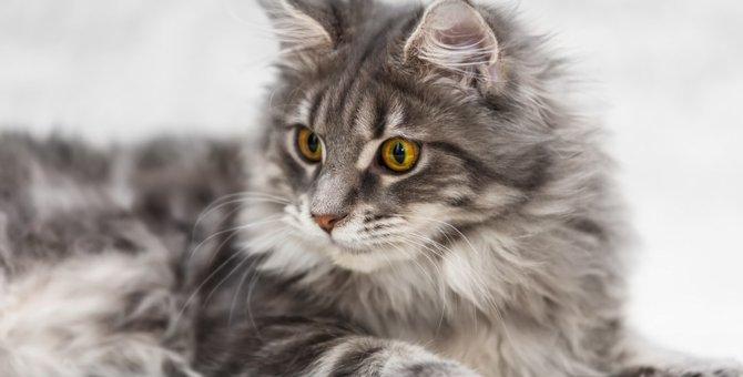 メインクーンの色は何種類?被毛や目のカラーが豊富な人気の猫種!