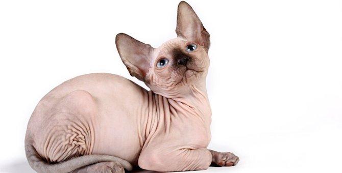 毛のない猫、スフィンクスの画像13選!かわいい子猫の写真も