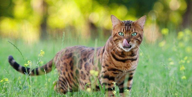 ヒョウ柄の猫の放つ魅力