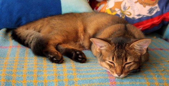猫のソマリの特徴や性格、値段について