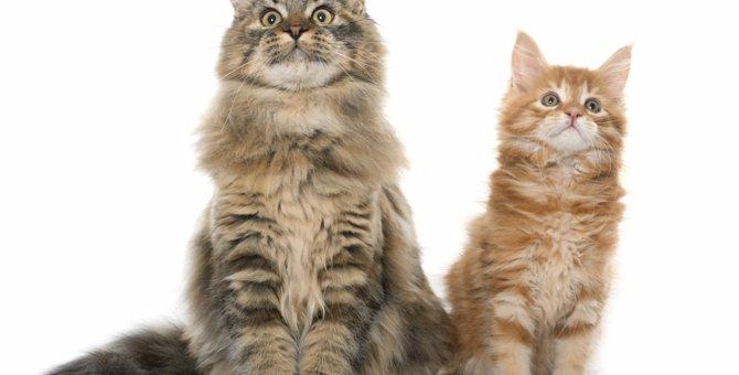 大らかで賢い猫!世界一しっぽの長いメインクーンの特徴と魅力