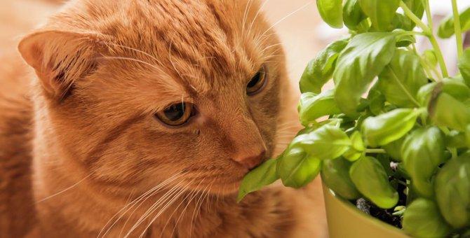 猫はバジルを食べても大丈夫?与える際の注意点や危険な観葉植物など