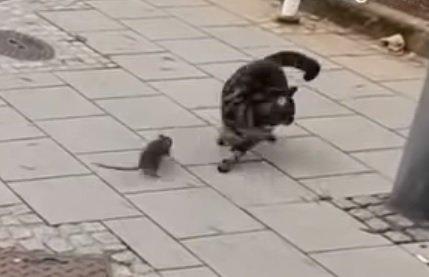 リアル「トムとジェリー」ネズミに追われる猫ちゃん