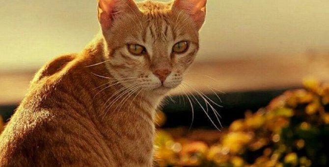 アラビアンマウは貴重な猫種。アラビア生まれの砂漠の動物