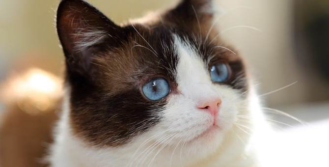 猫のスノーシュー 性格や特徴、お迎えする方法まで