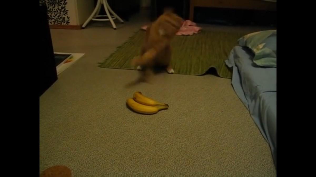 バナナVSネコ!ビビりすぎて猫パンチ「スカッ!」
