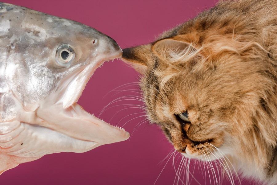猫に鮭(サーモン)を食べさせても大丈夫!与え方と注意点