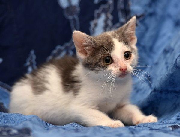 子猫に回虫がいる時の症状、対処法