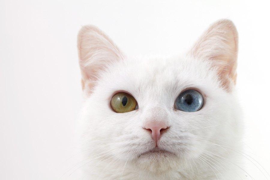 オッドアイの猫の値段はいくら?特徴やお迎えする方法