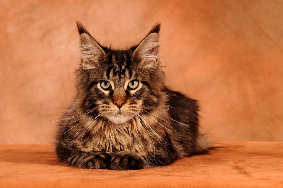 猫の耳毛は切っても大丈夫?カットする時の注意点