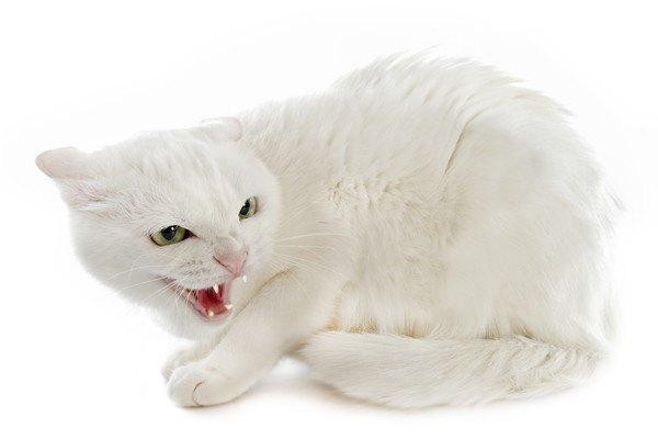 猫の威嚇のポーズ5選!心理や対処法