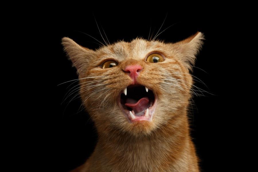 猫が口の中を気にする時に疑うべき病気と治療法