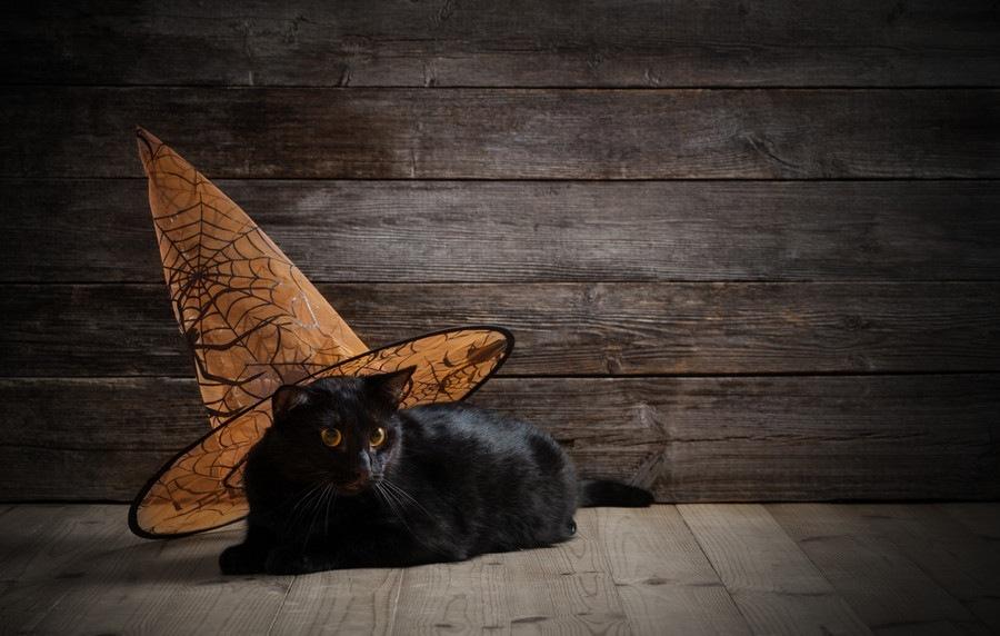 黒色のマンチカンの特徴と種類