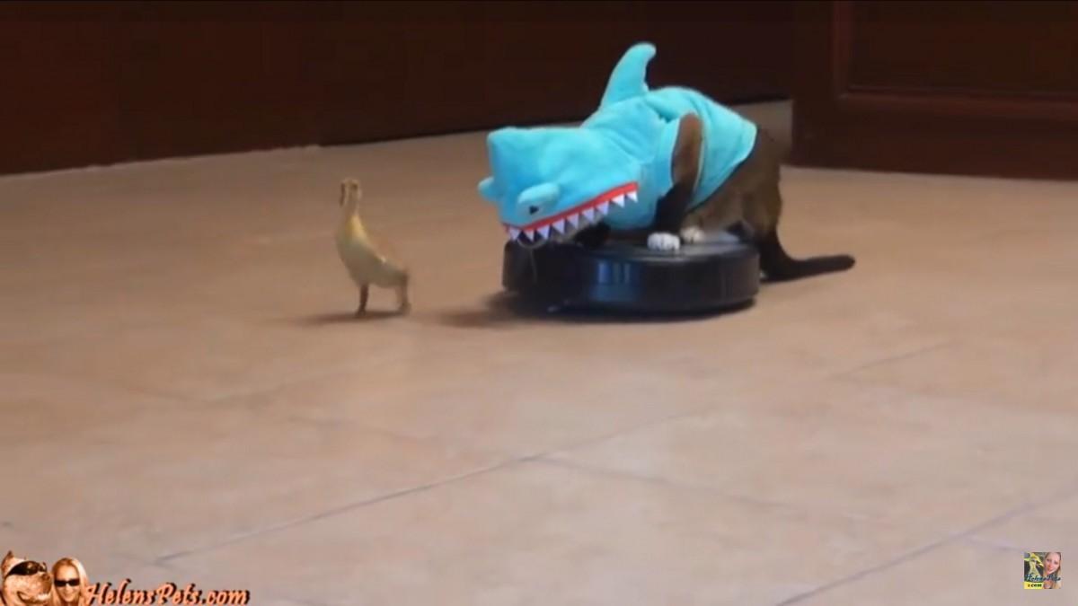 サメになった猫、ルンバを乗りこなしヒヨコを追う!