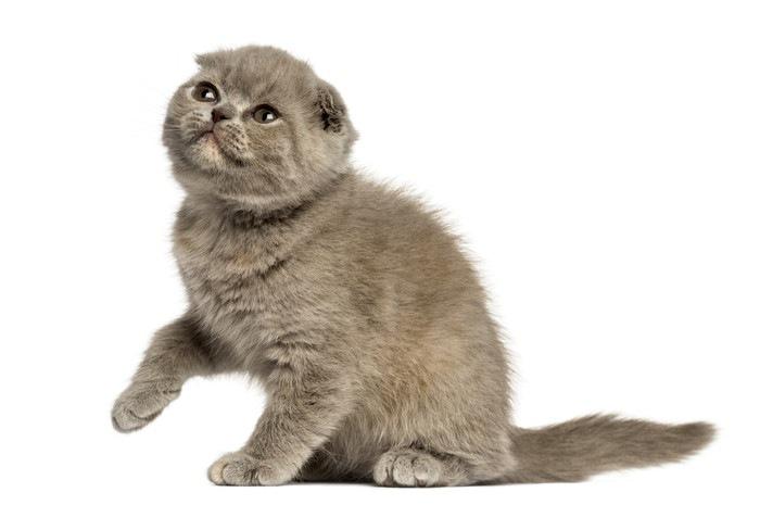フォールデックスという猫の特徴や性格、値段について