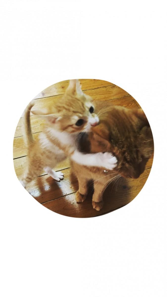 """やんちゃ過ぎな子猫「ミツオ」""""寅次郎""""と""""さくら""""とも仲良しです♪"""