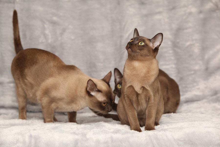 エイジアンという猫の特徴や性格、値段から飼い方まで