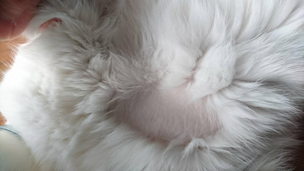 身体の一部が脱毛!?猫ちゃんのストレスからの問題行動と対策