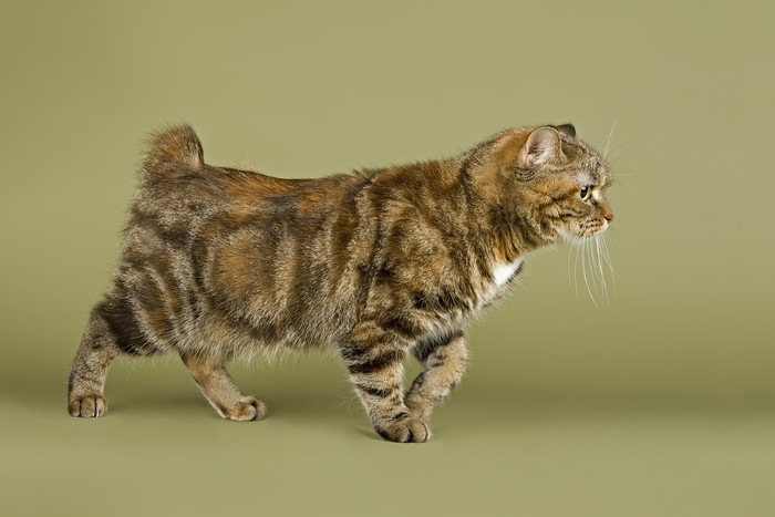 キムリックの特徴・性格 ~うさぎ・犬のような猫の魅力~