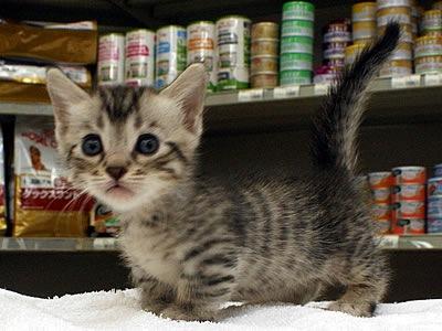 マンチカンがミックスされた猫の種類7選