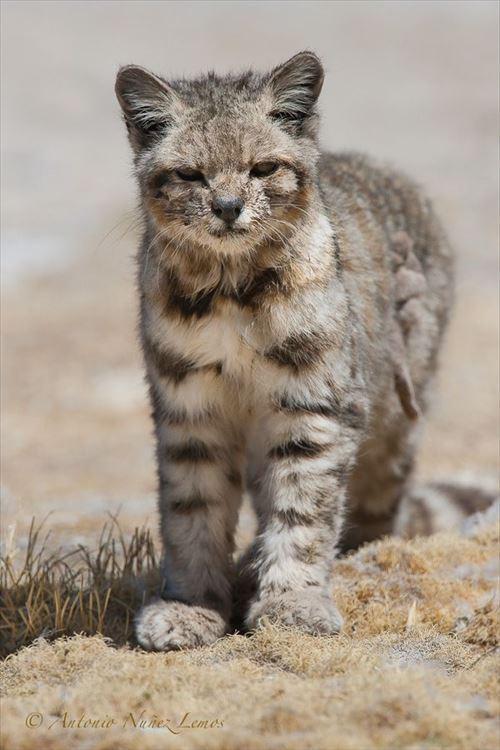 珍しい野生の猫!絶滅危惧種10選
