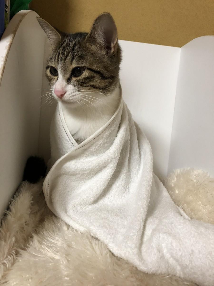 ニャンコが即かわいいお姫さまに♡ふわふわタオルで猫7変幻!