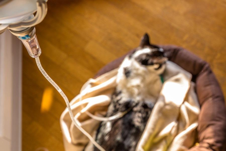猫も透析を受けることが出来る?方法や注意点