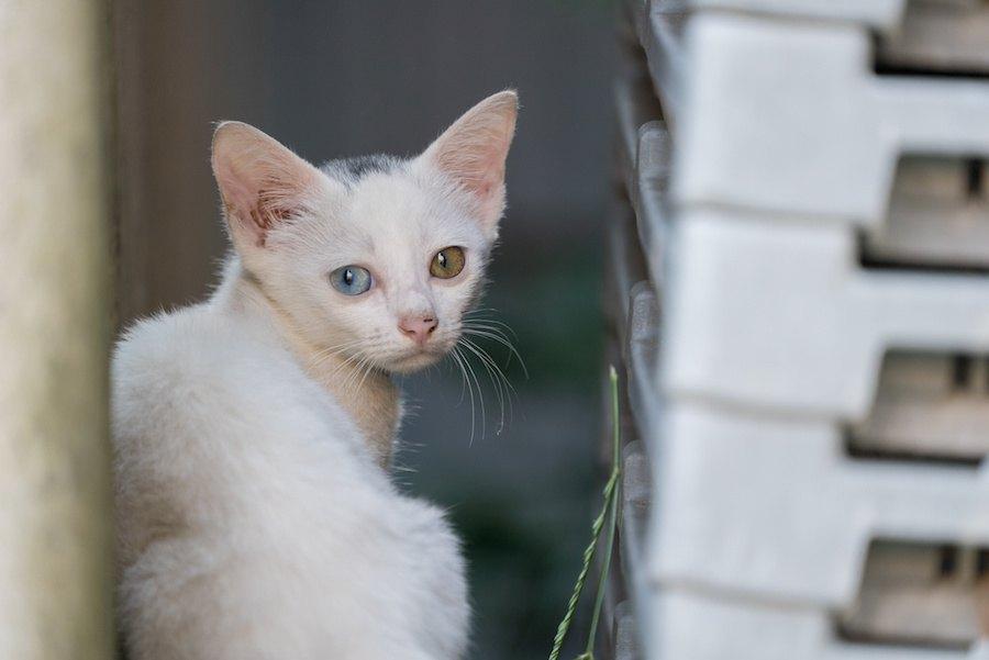 猫の目の色が違う「オッドアイ」原因や特徴