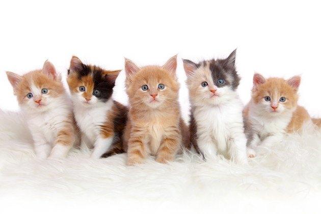 猫のブリーダーになるには?必要な資格や心得
