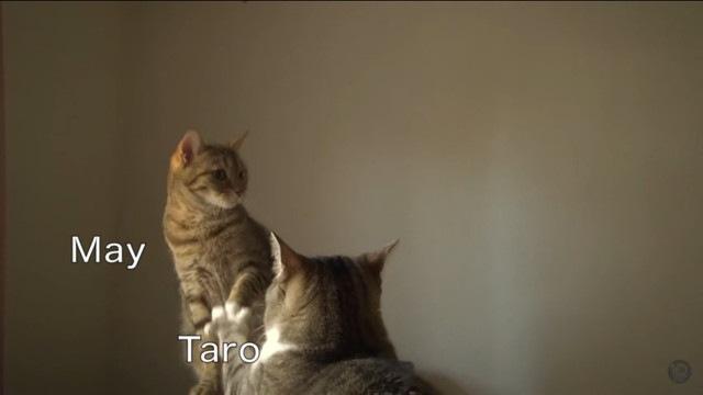 猫パンチがあたらない!優しい兄妹喧嘩をする猫たち