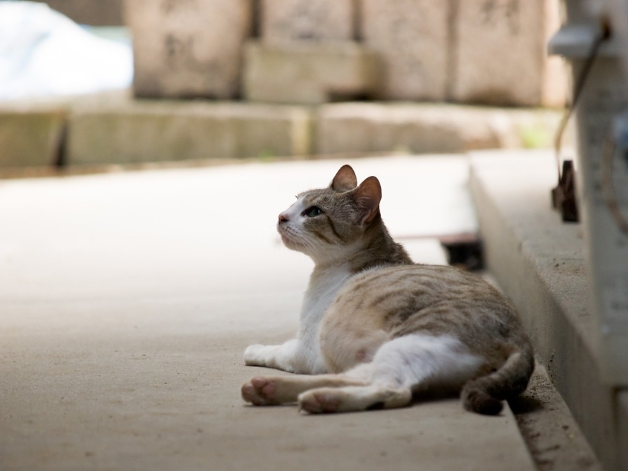 猫の妊娠期間と兆候、その間のケアについて